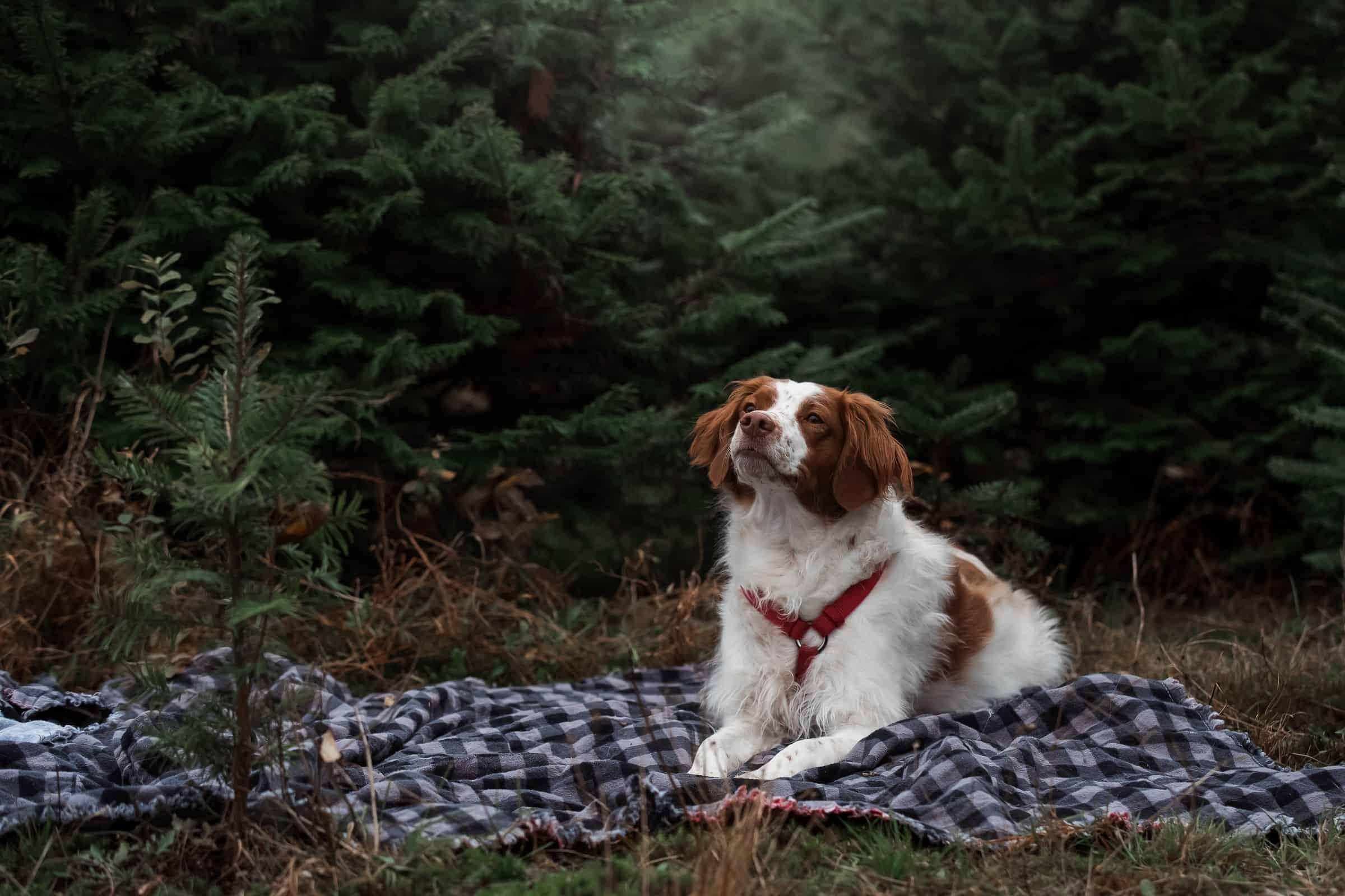 dog on plaid blanket among evergreen trees